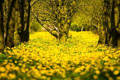 IMG_8693.jpg (vossemer) Tags: de deutschland jahreszeiten natur pflanzen blumen frhling blten niedersachsen lwenzahn jork frhjahr