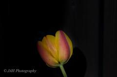 Home 1932-2016 (jah32) Tags: flowers flower mom spring flora memorial tulips memories mother memory iloveyou goodbye springtime flowerscolors
