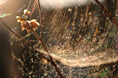 golden morning (brescia, italy) (bloodybee) Tags: light flower nature water leaves backlight garden gold droplets drops bokeh web spiderweb cobweb explore dew 365project