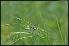 ZAP_6311-15-04-2016 mosca scorpione (r.zap) Tags: panorpacommunis parcodelticino navigliovecchio rzap