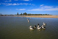LR-160316-058.jpg (Finert) Tags: theentrance friendlyflickr pelicanfeeding 160316