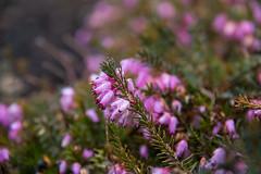 Heather (Infomastern) Tags: lund spring heather botanicgarden vr ljung botaniskatrdgrden