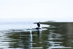 Duck Play (ivan_sundby) Tags: duck goldeneye splashing