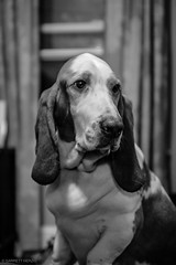 4/15/16 Day 188 (GarrettHerzig) Tags: bw dog monochrome fuji basset bassethound 365project x100t fujix100t