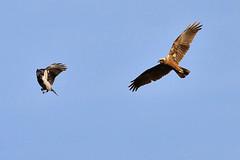 Falco di palude scaccia la Cornacchia (Massimo Greco ) Tags: cornacchia falcodipalude