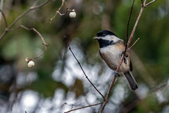 Chickadee and snowberries (tmeallen) Tags: winter cute britishcolumbia perched blackcappedchickadee barebranches reifelmigratorybirdsanctuary poecileatricapillus snowberry westhamisland smallbird whiteberries