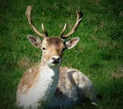 Deer at Dyrham Park this morning (Oxford Murray) Tags: deer buck dyrham