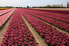 IMG_9689 (Ludo_M) Tags: sky plant flower field clouds canon landscape eos is tulip usm nuage mont vaucluse 6d ventoux f4l ef1635mm canoneos6d