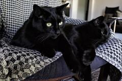 The Brothers (lennycarl08) Tags: cat blackcat kitties lc blackcats lennyandcarl