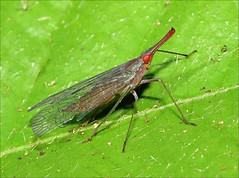 Lantern Bug (DebbieH82) Tags: costarica insects lanternbug canon7dmkii maquenquelodge