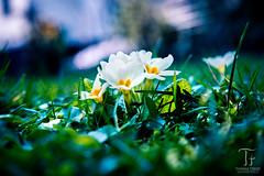 Life (Thomas TRENZ) Tags: vienna wien flower macro austria spring nikon meadow wiese blumen makro tamron d600 trenz sterreich frhling thomastrenz