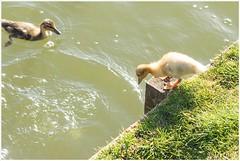 yes you can (HP009642) (Hetwie) Tags: bird nature animal nederland natuur chick mallard eend vogel noordbrabant kuiken helmond wildeeend watervogel brouwhuis eendenkuiken