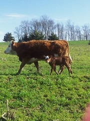 Rachel Hays - She's a Redhead (Missouri Agriculture) Tags: red cattle cows calf