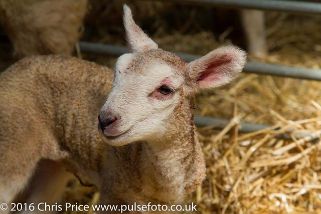 Amners Farm Lambing Day