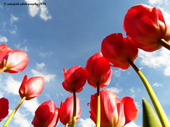 Tulpen / Tulips (photomotivjger) Tags: flowers plants nature germany garden deutschland tulips natur pflanzen overcast blumen admiral rheinland rhineland pfalz tulpen palatinate gartenblumen bedecktsamer heiligenmoschel