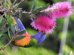 Bright as a Rainbow lorrikeet feeding on pink banksia (jeaniephelan) Tags: bird rainbow lorikeet parrot rainbowlorikeet australianbird lorrikeet smallparrot tasmanianbird