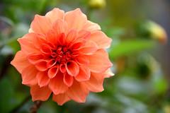 Dahlia (MelindaChan ^..^) Tags: china dahlia plant flower guilin mel melinda guangxi 桂林 廣西 chanmelmel melindachan 小平樂 海洋鄉