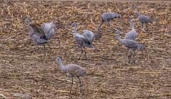 160319-Spring migration-8 (Lynnette_) Tags: birds animals march spring nebraska seasons events places cranes rivers month sandhillcranes 2016 springmigration platterivervalley naturesubjects cranemigration cranescootsandrails