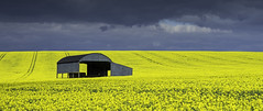 Yellow Field (grahamhutton) Tags: field barn sony seed crop dorset oil farmer bales tramlines oilseedrape northdorset a6000 sony1670mmf4za