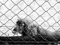 Sad... (Jean S..) Tags: blackandwhite bw dog monochrome animal fence sad prisoner