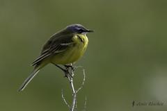Lavandera boyera (Motacilla flava) (jsnchezyage) Tags: naturaleza bird fauna birding ave motacillaflava lavanderaboyera