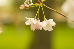 20160424-07_Soft Pastels (gary.hadden) Tags: park flowers macro tree spring memorial pretty romantic coventry floweringcherry topgreen