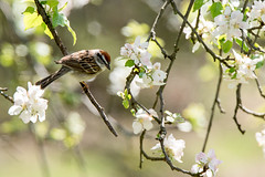 Chipping Sparrow in Apple Tree (flying cats (AKA Penny Carlson)) Tags: flowers tree bird apple newjersey sony nj sparrow flowering tamron chipping hunterdon 150600mm a7rii