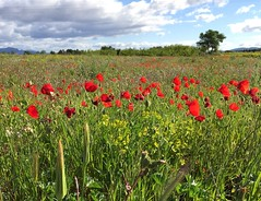 Balade matinale (karine_avec_1_k) Tags: morning field spring ride printemps champ matin balade coquelicots