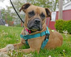 Sarah_07 (AbbyB.) Tags: flowers rescue dog pet yard newjersey weeds canine boxer shelter adopt shelterpet petphotography easthanovernj mtpleasantanimalshelter