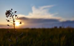 Bless His Ever Loving Heart (CB-Photos) Tags: sunset sky flower love heart bokeh blume fokus