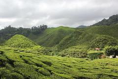 Tea @ Cameron Highlands (Huub Pics) Tags: travel mountain tea hill wanderlust explore backpacking malaysia plantation tanahrata cameronhighlands teaplantation