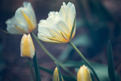 double tulips (alex_bruskov) Tags: flowers nature canon tulip m42 manual helios44m4 russianlens 550d