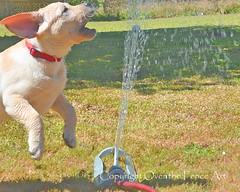 DSC_5606sprinklerfun copy (amywright5) Tags: dog puppy card sprinkler yellowlabrador