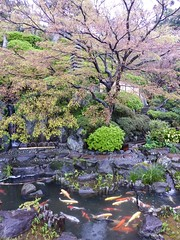 Hase-dera I (Douguerreotype) Tags: park pink fish tree green rain japan garden cherry temple pond shrine blossom buddhist koi cherryblossom sakura carp
