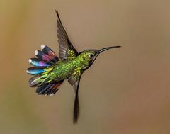 Green-breasted Mango (Eric Gofreed) Tags: costarica hummingbird greenbreastedmango ranchonaturlalista