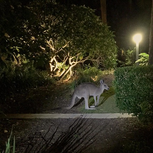 How lucky we are to see a wild #kangaroo in our hotel #InterContinental #Sanctuary #Cove