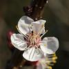 38- Ringlottenblüte (heriholz) Tags: blossom greengage