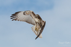 Young Red Tailed Hawk. Commerce City, Colorado.