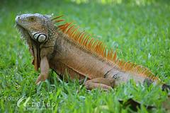Arrogante (Gatifoto) Tags: fauna mxico iguana oaxaca mexique reptil manglar garrobo salvaje mjico gatifoto arnaldopea