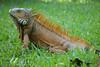 Arrogante (Gatifoto) Tags: fauna méxico iguana oaxaca mexique reptil manglar garrobo salvaje méjico gatifoto arnaldopeña