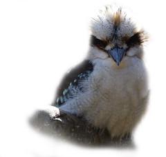 Kookaburra (Wim van Bezouw) Tags: white bird nature animal tropical kookaburra