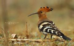 Hoopoe (Wasif Yaqeen) Tags: pakistan nature birds animal wildlife animalplanet hoopoe nationalgeographic wasif wasifyaqeen