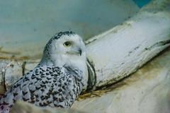Snowy Owl (Alden Lim) Tags: snow bird singapore snowy raptor owl