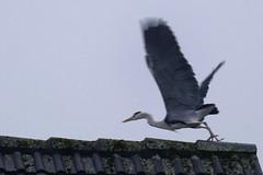 Reiher Sturzflug - Heron Nosedive - 005_Web (berni.radke) Tags: heron reiher nosedive sturzflug