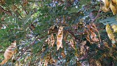 Albizia-forbesii_MoanaluaGarden-Honolulu_Cutler_20160106_154534 (wlcutler) Tags: hawaii pod oahu honolulu albizia maunalua broadpod albiziaforbesii maunaluagarden