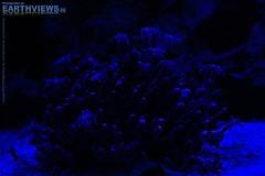 Corals - Into the Blue 6358(1)f (Stefan Beckhusen) Tags: sea nature water night aquarium underwater darkness nightshot magic illumination fishtank corals bluelight saltwater