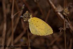 IMG_9615 (Chaitanya Shukla) Tags: india macro butterfly maharashtra in kokan guhagar patpanhale shringartali