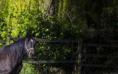 Hi my name is Mr. Ted (PKub) Tags: horse pets black green colors animals photography tiere photo image picture grn bild pferd schwarz farben haustiere 2015 nikond5100 pkub pkubimages pkubimagesgmailcom