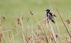 New Holland Honeyeater (Phylidonyris novaehollandiae) (George Wilkinson) Tags: new holland honeyeater tasmania bruny phylidonyrisnovaehollandiae