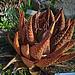 N20160126-0008—Aloe aculeata—UCBG